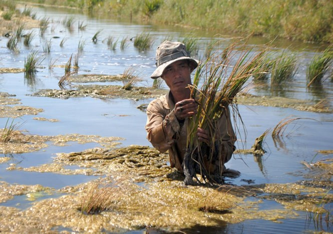A rice farmer in the Mekong Delta has lost all his winter crop to salinization. Photo: Tan Thai/Tuoi Tre