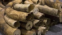 Vietnamese customs seizes 2.2 tons of elephant ivory