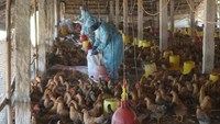 Vietnam has not detected H7N9 virus but the infection risk is high. Photo: Nguyen Long