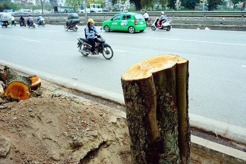 Hanoi is expected to remove and cut at least 346 trees for an urban rail line project. Photo: Ngoc Thang