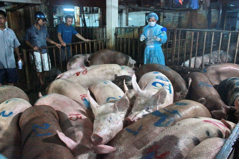 A Ho Chi Minh City animal health official (R) takes samples to find drug residue in pigs at a slaughterhouse. Photo: Cong Nguyen