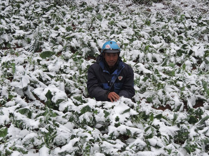 A farmer in Lao Cai Province in his vegetable garden which has been covered in snow January 24. Photo: Tran Ho