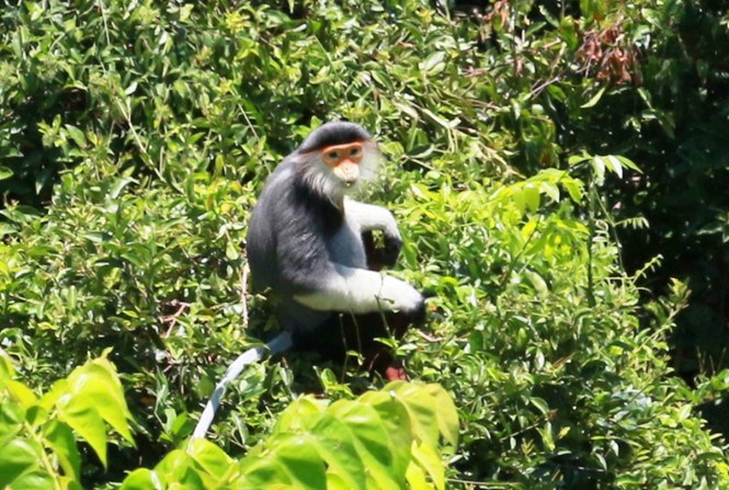 A red-shanked douc langur shown in a file photo taken at Son Tra peninsula in the central city of Da Nang. Photo: Hoang Son