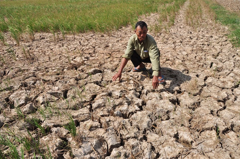 Nearly 139,000 hectares from the winter-spring crop have been damaged by water shortage and salinization in the Mekong Delta's worst drought in a century, the agriculture ministry said in a recent report. File photo