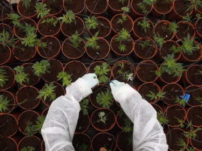 A cannabis farm in England. Photo credit: Reuters