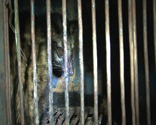 A weasel seized from a local house in Thua Thien-Hue Province on March 26, 2016 before it is delivered to a local restaurant. Photo credit: Nguoi Lao Dong