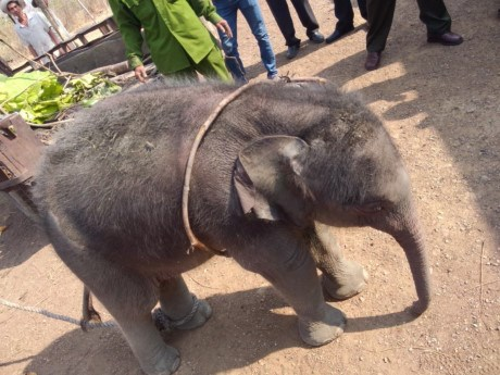 A baby elephant pulled from a well in Dak Lak Province March 28, 2016. Photo courtesy of Dak Lak's Elephant Conservation Center