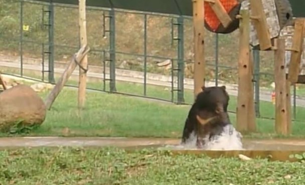A screenshot from an Animals Asia video shows Tuffy, rescued from a bile farm in northern Vietnam last September, enjoy a pool during his first day at a sanctuary.