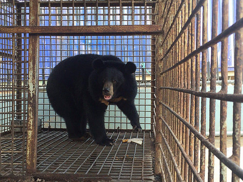 Bear rescued after many years in cage in central Vietnam