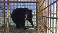 A bear rescued from ten years of cage life in the central city of Da Nang. Photo credit: Animals Asia