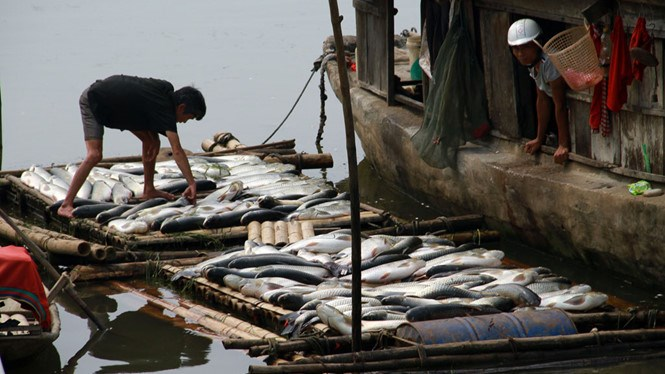 A farmer collects his dead fish along the Buoi River in Thanh Hoa Province. Photo: Ngoc Minh