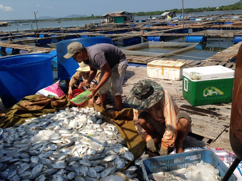 Farmers collect dead fish in a farm along a river in Vung Tau in September 2015. Photo: Nguyen Long/Thanh Nien