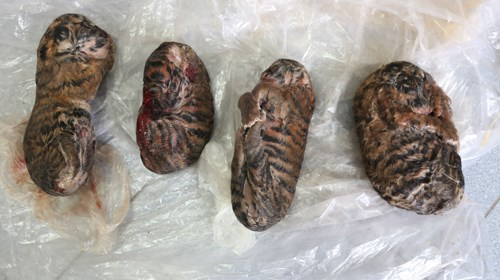 Frozen tiger cubs seized by police in Nam Dinh on May 8. Photo courtesy of Nam Dinh Police