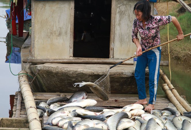 A woman picks up dead fish in her farm on a river in Thanh Hoa Province. Photo: Ngoc Minh/Thanh Nien