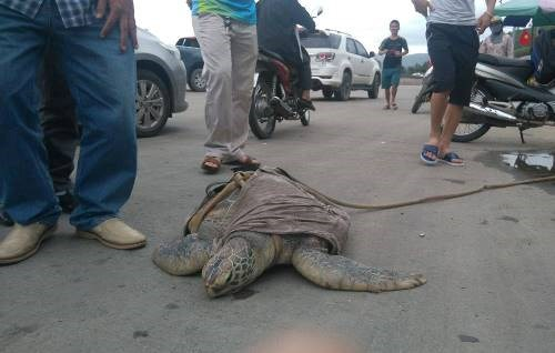A rare sea turtle is advertised on a road in Quang Ninh Province May 13, 2016. Photo credit: Minh Cuong/VnExpress