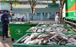 Fish die en masse on Saigon canal after heavy rain