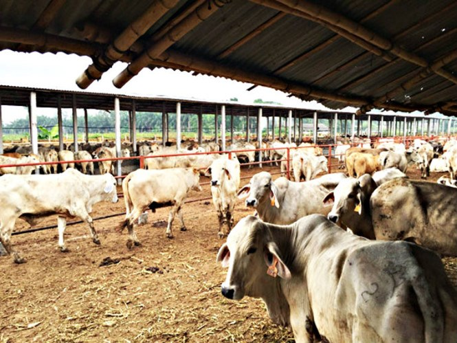 A feedlot of Animex in Hai Phong, which has been suspended from receiving additional cattle from Australia due to animal cruelty allegations. Photo courtesy of Animex