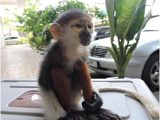A baby red-shanked douc langur found on a street in Da Nang. Photo: Nguyen Tu/Thanh Nien
