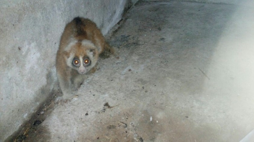 A loris seized from two traffickers in Hanoi on June 13, 2016. Photo courtesy of Education for Nature-Vietnam