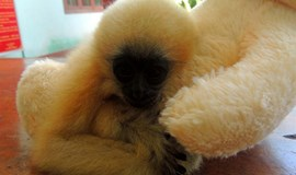 Rare gibbon saved from hunters in central Vietnam