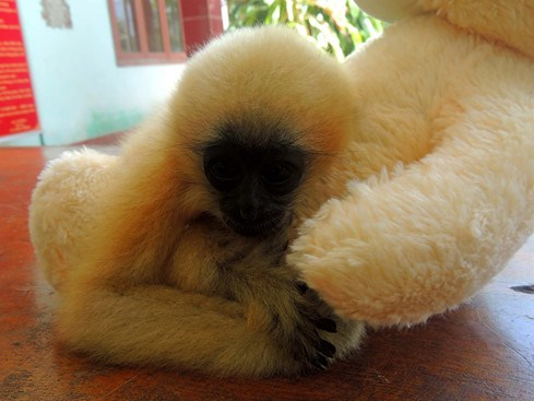 A baby white-cheeked gibbon plays with a teddy bear after rescued to a forest rangers station in Quang Ngai Province on July 13, 2016. Photo: Hien Cu/Thanh Nien