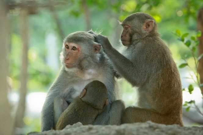 Killing monkeys in Vietnam can be fined up to $44,600. Photo: Tien Thanh/Tuoi Tre