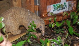 20 pangolins return to nature after rescued from traffickers in Vietnam