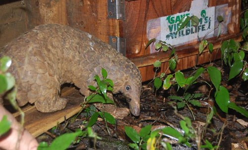 A pangolin rescued from traffickers is returned to the wild in northern Vietnam. Photo courtesy of the Carnivore and Pangolin Conservation Program