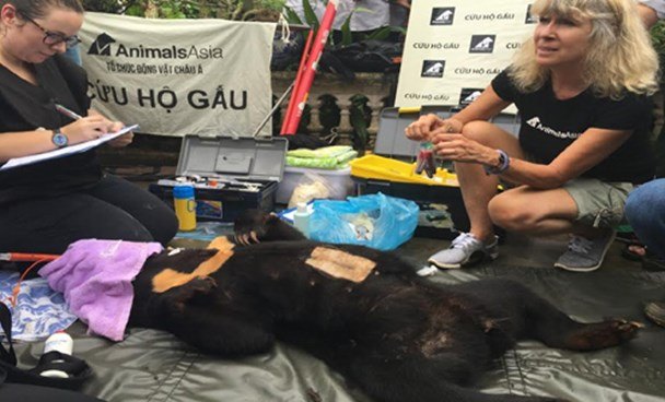 Animals Asia experts check a bear freed from a cage in Nam Dinh Province after giving her an anesthetic August 18. Photo: Hai Ninh/VnExpress