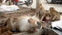 Man arrested with 21 protected monkeys in central Vietnam