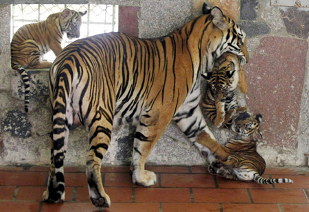 Weak enforcement allows tiger trade to flourish