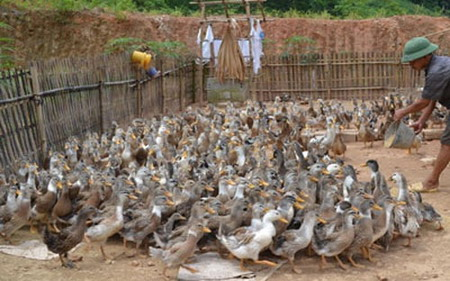 Chinese illegally buy breeding ducks in southern Vietnam