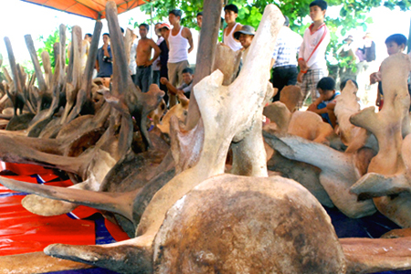 Vietnam's largest whale skeleton to be restored for display