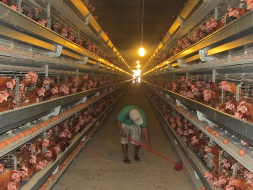 High production costs make Vietnam's poultry industry vulnerable: experts
