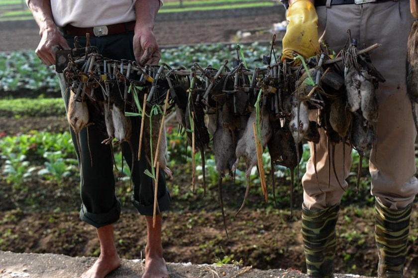 Vietnam 39 rat king 39 helps rice farmers fight costly vermin - Appartement renove hanoi hung manh tran ...