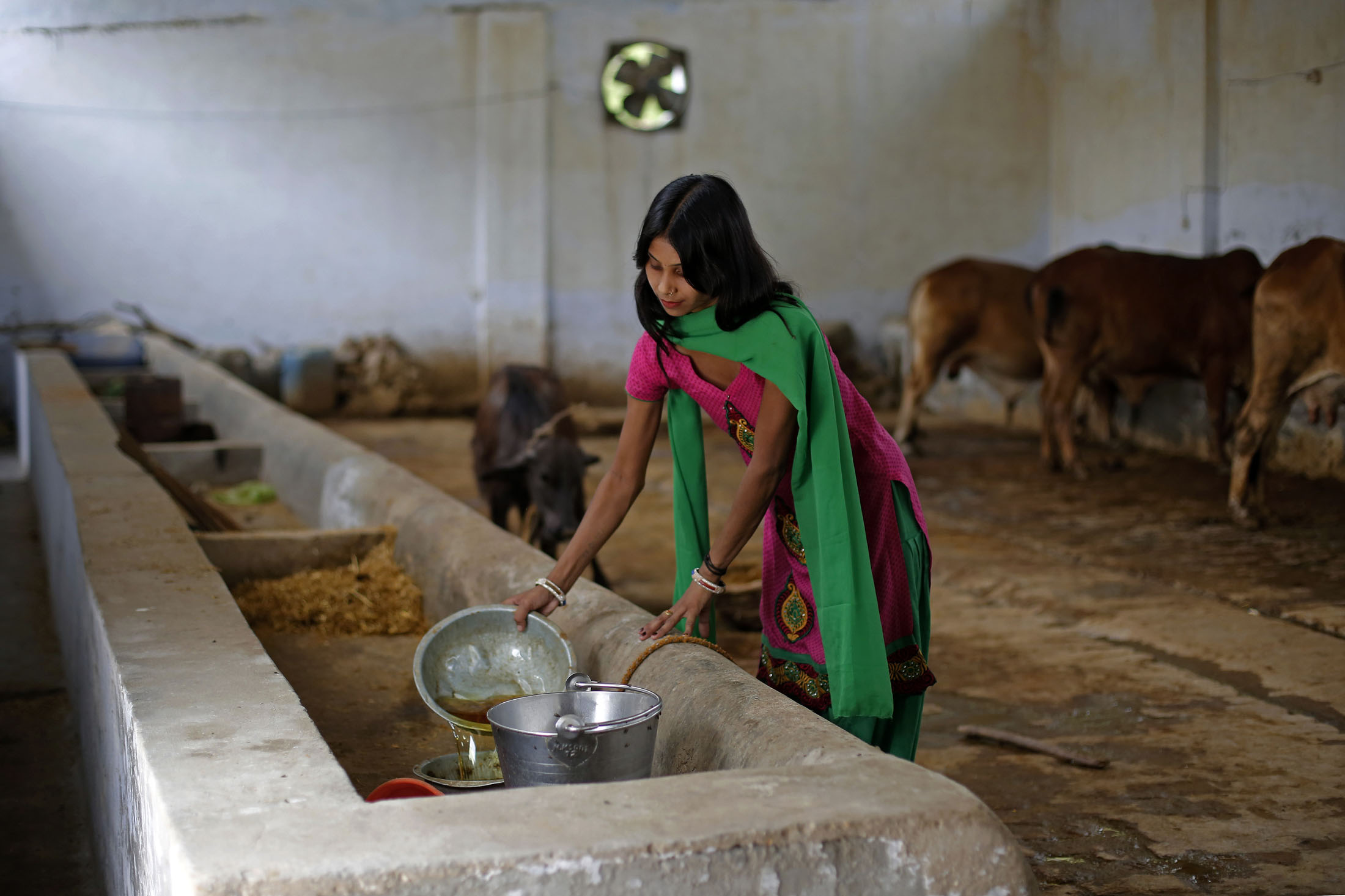 Cow urine can sell for more than milk in India