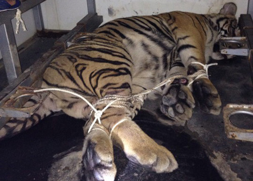 Tigers thrown off truck during police chase in central Vietnam