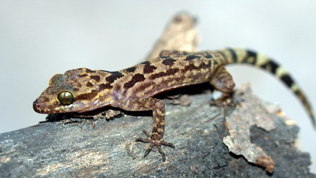 New lizard, frog found in Vietnam's mountains